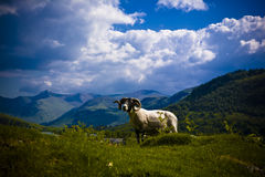 Beautiful Scotland with Ram Royalty Free Stock Photos