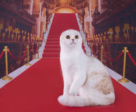 Beautiful Scottish cat on the red carpet.  Royalty Free Stock Photo