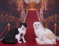 Beautiful Scottish cat on the red carpet.  Stock Photo