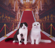 Beautiful Scottish cat on the red carpet.  Royalty Free Stock Photos