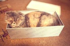 Beautiful scottish fold on the box Stock Photography