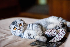 A beautiful Scottish Fold cat lies next to a toy and a web tablet. A cat is silver-colored with orange eyes. Royalty Free Stock Photos