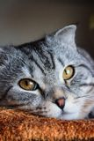 Beautiful scottish fold gray tabby cat with white stripes. royalty free stock images