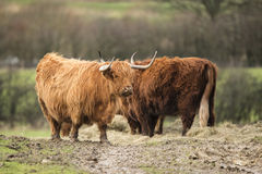 Beautiful Scottish Highland Cattle grazing in farm field Stock Photos
