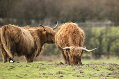 Beautiful Scottish Highland Cattle grazing in farm field Royalty Free Stock Photography