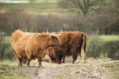 Beautiful Scottish Highland Cattle grazing in farm field. Beautiful Scottish Highland Cattle grazing in field Royalty Free Stock Photos