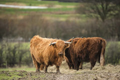 Beautiful Scottish Highland Cattle grazing in farm field Stock Images