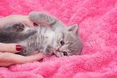 Beautiful Scottish kitten in hands Stock Images
