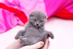 Beautiful Scottish kitten in hands Stock Photography