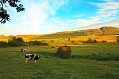Beautiful Scottish landscape with cows Royalty Free Stock Photos