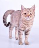 Beautiful Scottish straight kitten walking towards Royalty Free Stock Photos