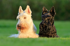 Beautiful scottish terrier, sitting on green grass lawn, flower forest in the background, Scotland, United Kingdom. Pair of black. And white animal Royalty Free Stock Photography