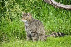 Beautiful Scottish Wildcat posturing on tree in Summer sunlight Stock Images