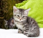 Beautiful Scottish young cat stock photos