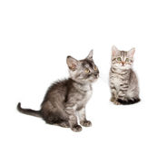 Beautiful Scottish young cat Royalty Free Stock Photos