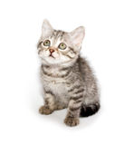 Beautiful Scottish young cat Royalty Free Stock Photo
