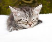 Beautiful Scottish young cat Stock Photo