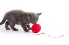 Beautiful Scottish young cat Royalty Free Stock Image
