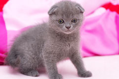 Beautiful Scottish young cat Royalty Free Stock Images
