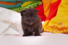 Beautiful Scottish young cat Stock Image