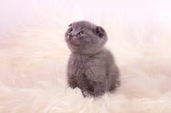 Beautiful Scottish young cat Royalty Free Stock Photos