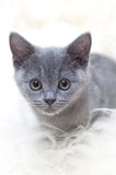 Beautiful Scottish young cat Stock Images