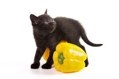 Beautiful Scottish young cat with yellow pepper Stock Photo