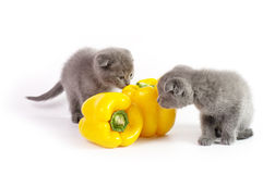 Beautiful Scottish young cats with yellow pepper Stock Photo