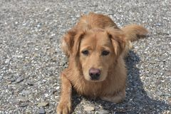 Beautiful scotty puppy laying on a rocky beach. Beautiful golden scotty puppy laying on a rocky beach Stock Images