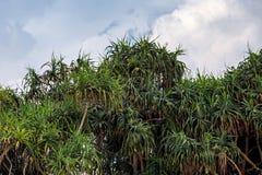 Beautiful screw pine Royalty Free Stock Photos