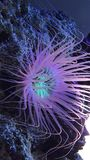 Beautiful sea anemone lighting up in purple blue and pink vibrant colors stock footage