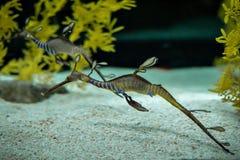 A beautiful sea dragon royalty free stock photo