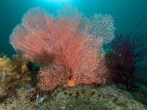 Beautiful sea fans abound in Raja Ampat, Indonesia Royalty Free Stock Photography