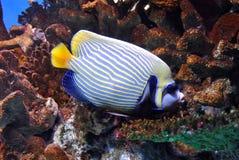 Beautiful sea fish. Sailing amongst korral Royalty Free Stock Image