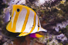 Beautiful sea fish. On atoll Royalty Free Stock Image