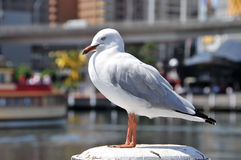 Beautiful sea gull sits. On a pole royalty free stock images