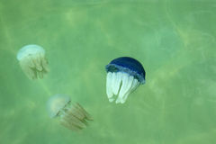 Beautiful sea jellyfish floating Royalty Free Stock Photography
