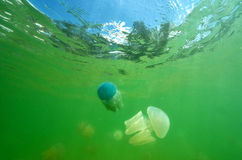 Beautiful sea jellyfish floating in the sea of Thailand, Underwa Stock Photography