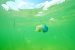 Beautiful sea jellyfish in the sea Royalty Free Stock Image