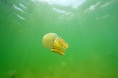 Beautiful sea jellyfish in the sea Royalty Free Stock Images