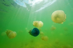 Beautiful sea jellyfish in the sea Stock Image