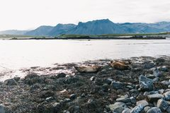 Beautiful sea lions lying on rocky shore of fjord. In iceland royalty free stock image