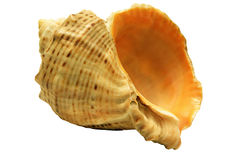 Beautiful sea shell Stock Image