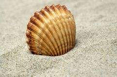 Beautiful Sea Shell Royalty Free Stock Photo