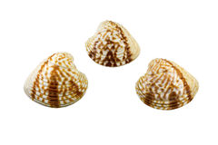 Beautiful sea shell,Chione paphia, isolated on white background For posters, sites, business cards, postcards, interior design, la Royalty Free Stock Photography