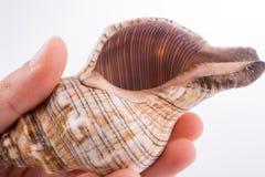 Beautiful sea shell Royalty Free Stock Photography
