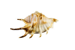 Beautiful sea shell,Lambis chiragra, isolated on white background For posters, sites, business cards, postcards, interior design, Royalty Free Stock Photography