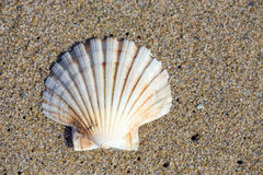 Beautiful sea shell on sand Stock Photos