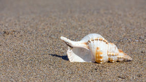 Beautiful sea shell on sandy beach Stock Image