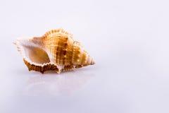 Beautiful sea shell Stock Image